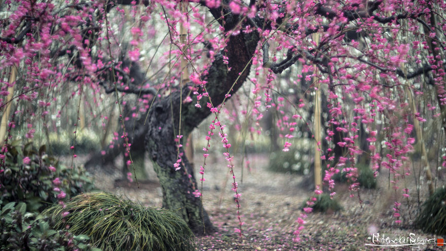 I-Captured-Plum-Trees-Blooming-In-Japan-5a9f4643832a6__880.jpg