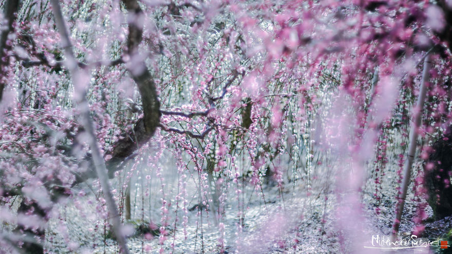 I-Captured-Plum-Trees-Blooming-In-Japan-5a9f9898dc985__880.jpg