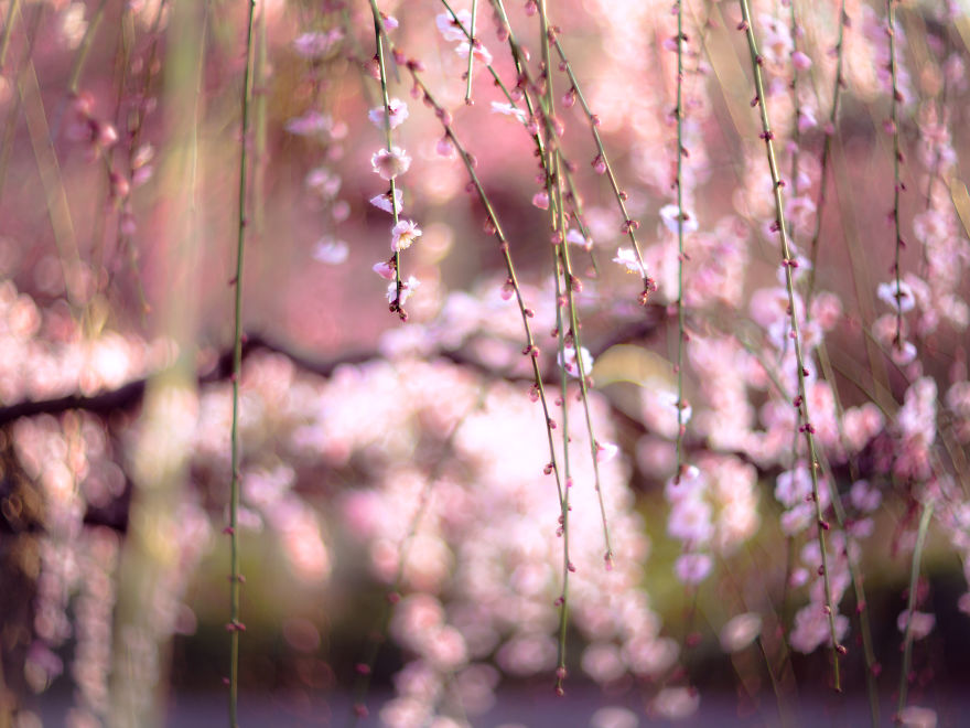 I-Captured-Plum-Trees-Blooming-In-Japan-5a9fc9f9a14bc__880.jpg