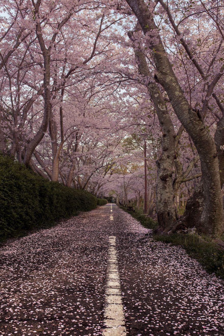 I-Captured-Sakura-Bloom-In-Japan-5abb3ce9506ea__880.jpg