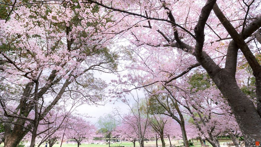 I-Captured-Sakura-Bloom-In-Japan-5abb3e6b595af__880.jpg
