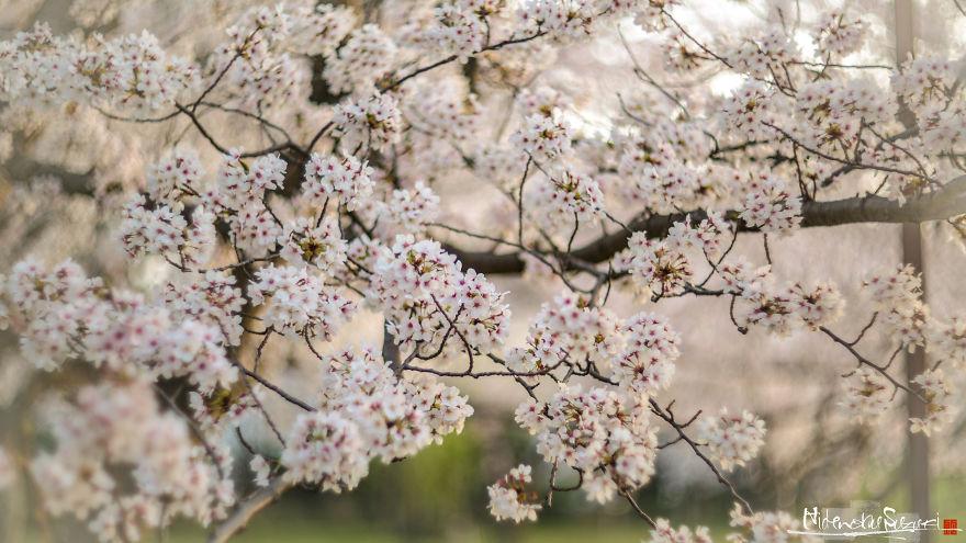I-Captured-Sakura-Bloom-In-Japan-5abc1c7e0c4c0__880.jpg