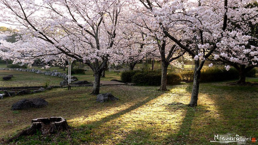 I-Captured-Sakura-Bloom-In-Japan-5abc774d391c7__880.jpg